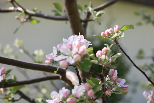 Äppelblom i rosa o vitt